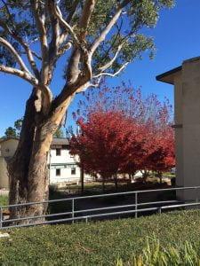 Armidale trees on campus