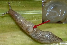 Nematode infected slug