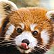 red-panda1