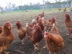 Hens ranging