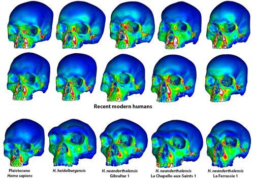 3D digital models of recent modern human skulls compared to neanderthal skulls of Pleistocene - homosapiens, H. heidelbergensis , H. heidelbergensis - Gibraltar 1, H neanderthalensis - La Chapelle-aux-Saints 1, and H. neanderthalesis - La Ferrassie 1