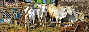 Group of cattle in rudimentary pen