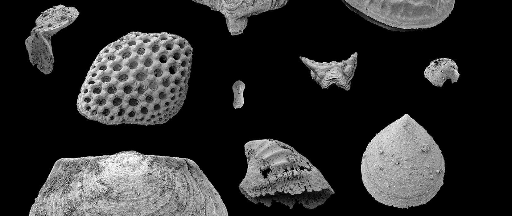 Black and white image of large and small fossil types.