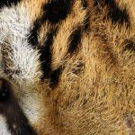 Close up of a tiger's face, showing one eye.