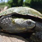 Bells Turtle on a rock near a river.