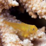 A bright yellow Goby Fish in the ocean with a coral reef.