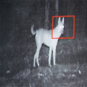 Motion-triggered camera on a wild dog.