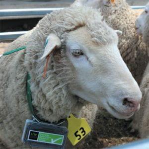 Closeup of a tagged sheeps head.