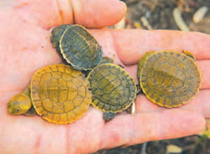 Four Cooper Creek Turtle hatchlings being held in the palm of a hand.