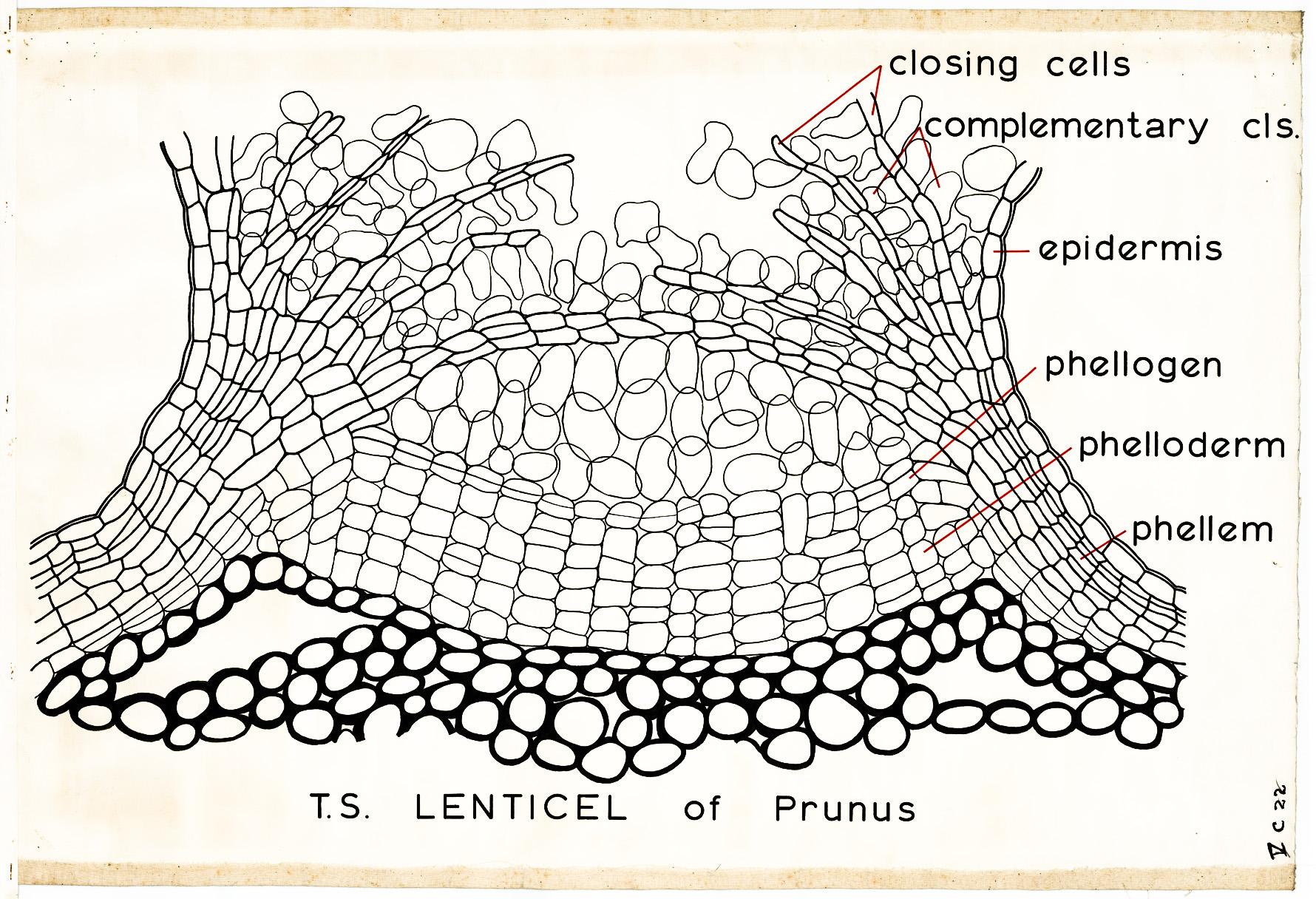 نقش عدسک(Lenticel) در گیاهان چیست؟
