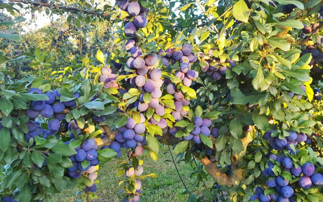 Damson plums to be assessed for bioactive compounds with potential health benefits