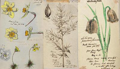 Botanical illustrations by Richard Suter