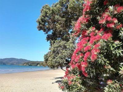 Beach scene with flowering pohutukawa