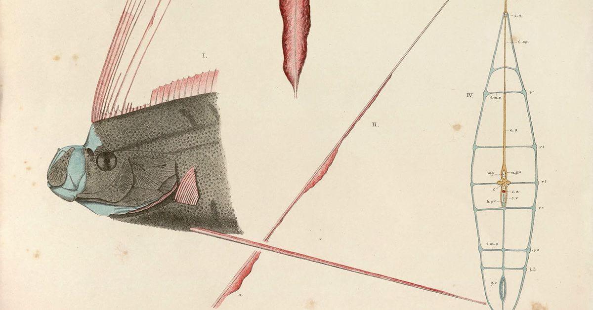 hand-drawing of great ribbon fish