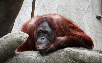 How have Orangutans adapted to human behaviour?