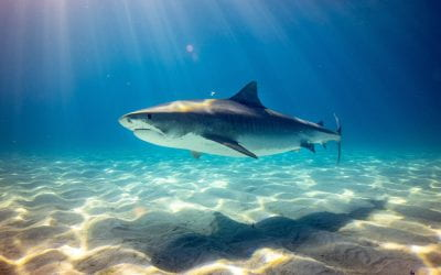 Q+A: Why are shark populations in decline?