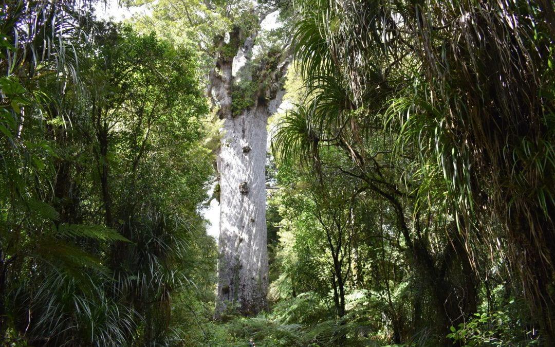 How are we fighting kauri dieback?