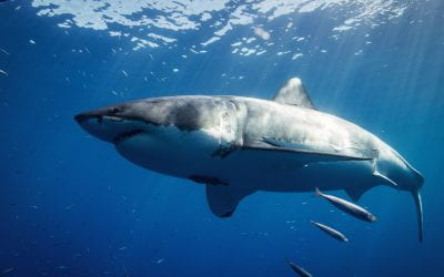 How dangerous are humans to sharks?