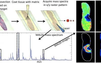 MALDI Imaging Mass Spectrometry to validate novel transgenic mouse models lacking melanocortin peptide hormones