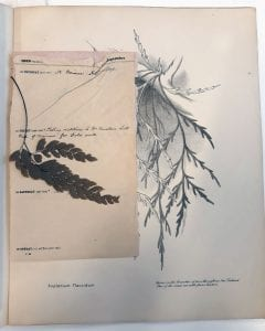 Aspleniusm flaccidum drawing with pressed fern and diary page