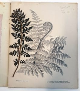 Dicksonia squarrrosa drawing with pressed fern