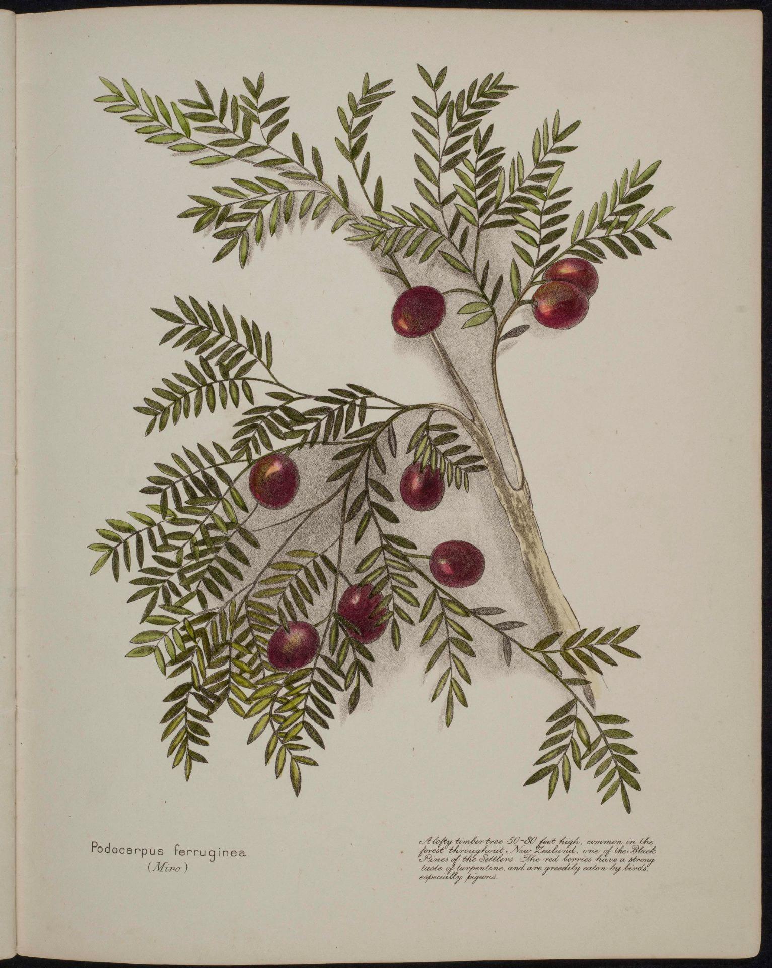 Podocarpus ferruginea Miro
