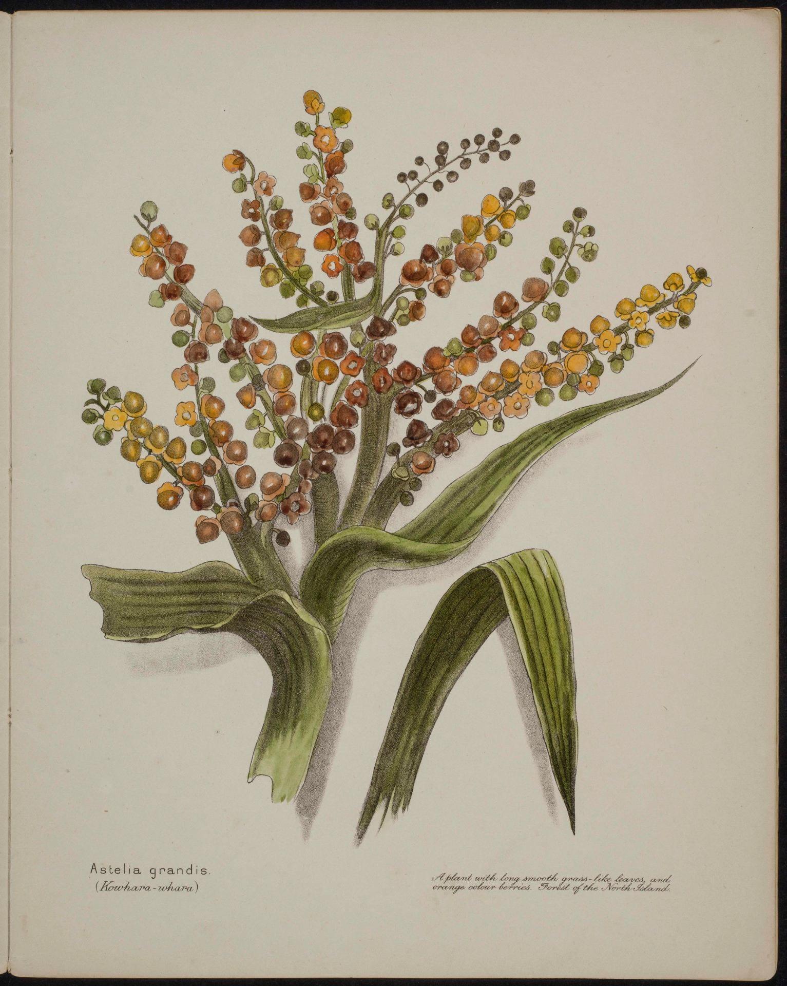 Astelia grandis Kowhara-whara