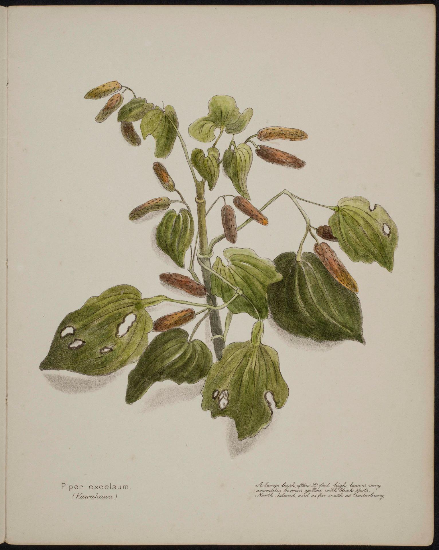Piper excelsum kawakawa