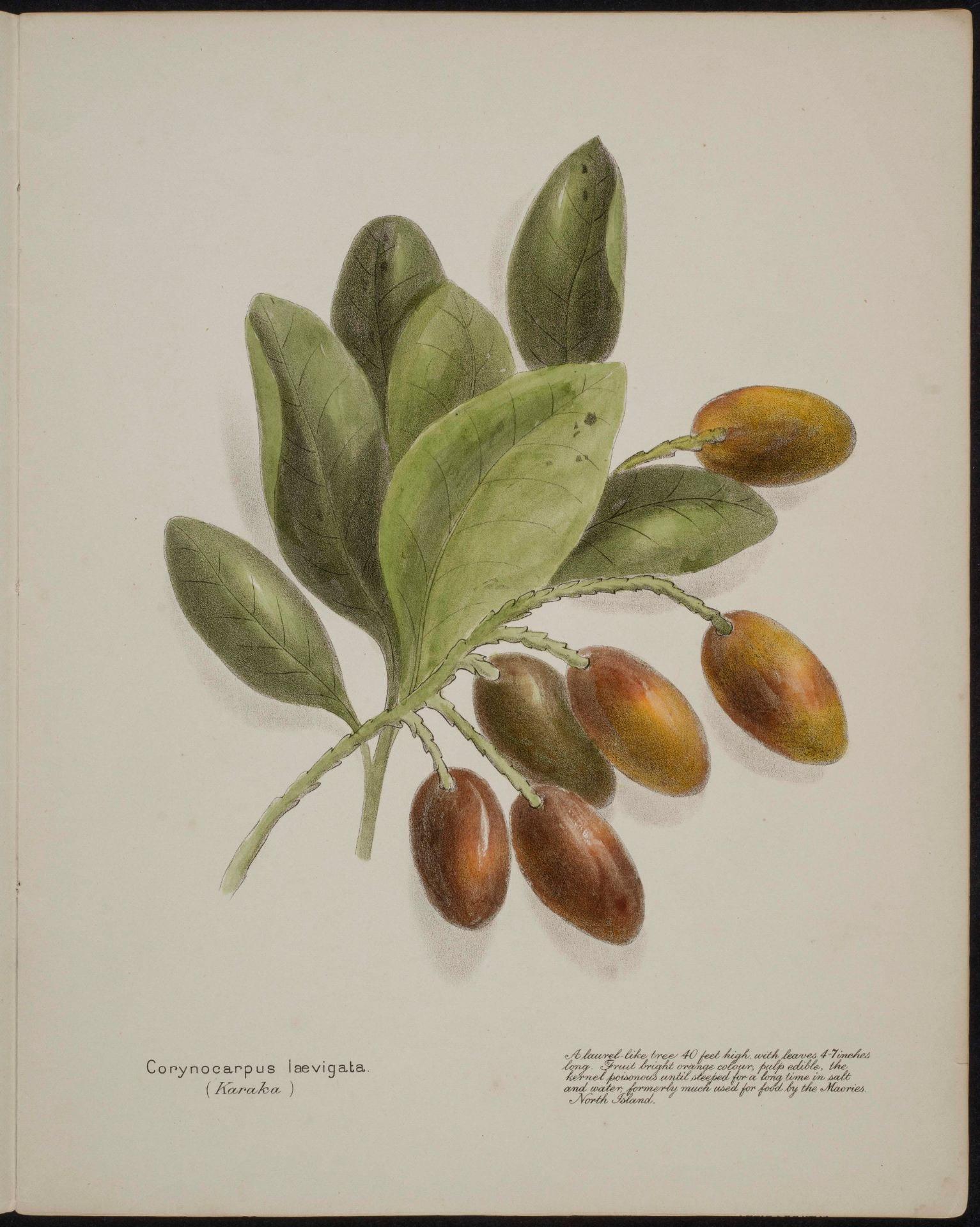 Corynocarpus laevigata Karaka