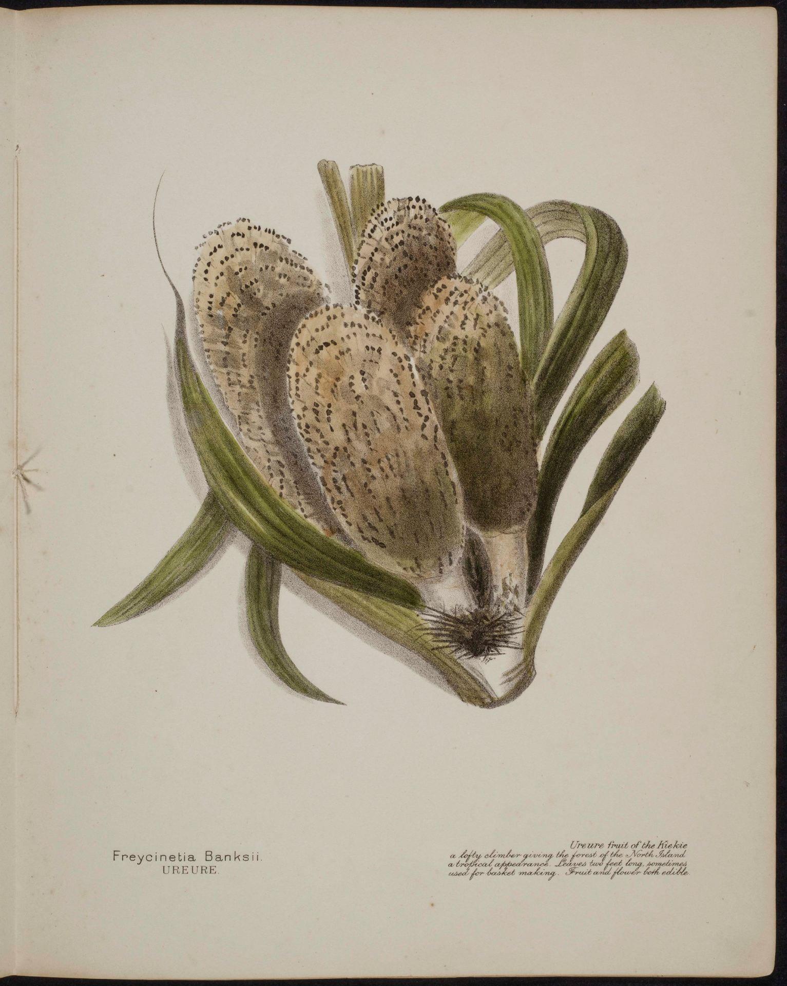 Freycinetia Banksii Ureure