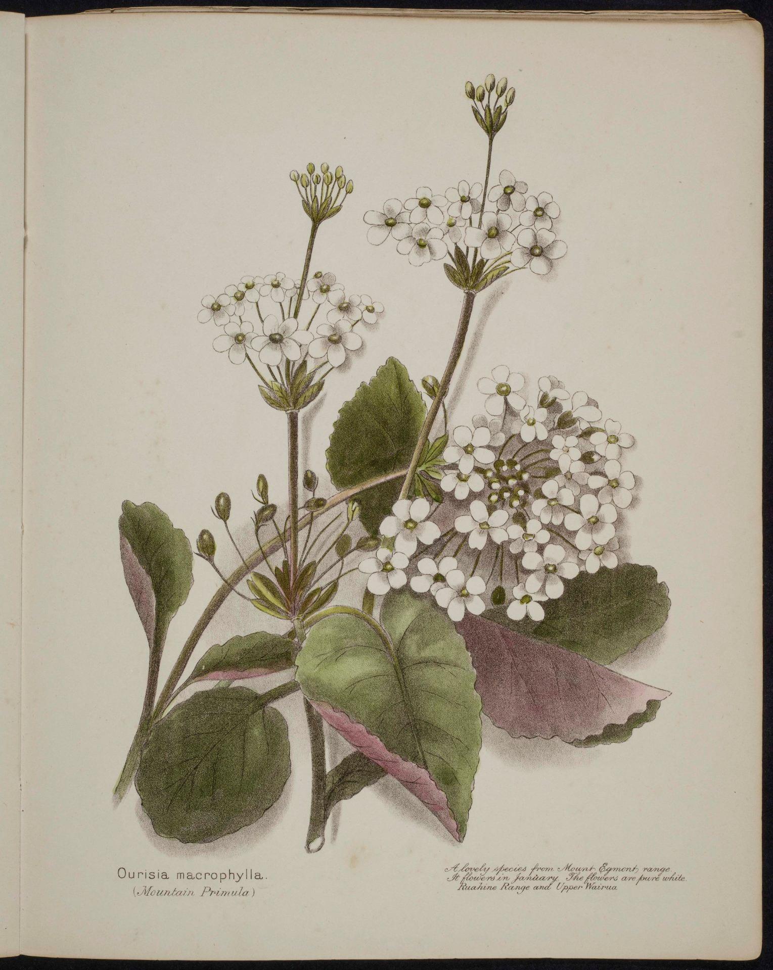 Ourisia macrophylia Mountain Primula