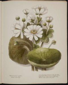 Ranunculus Lyallii Mount Cook Lily