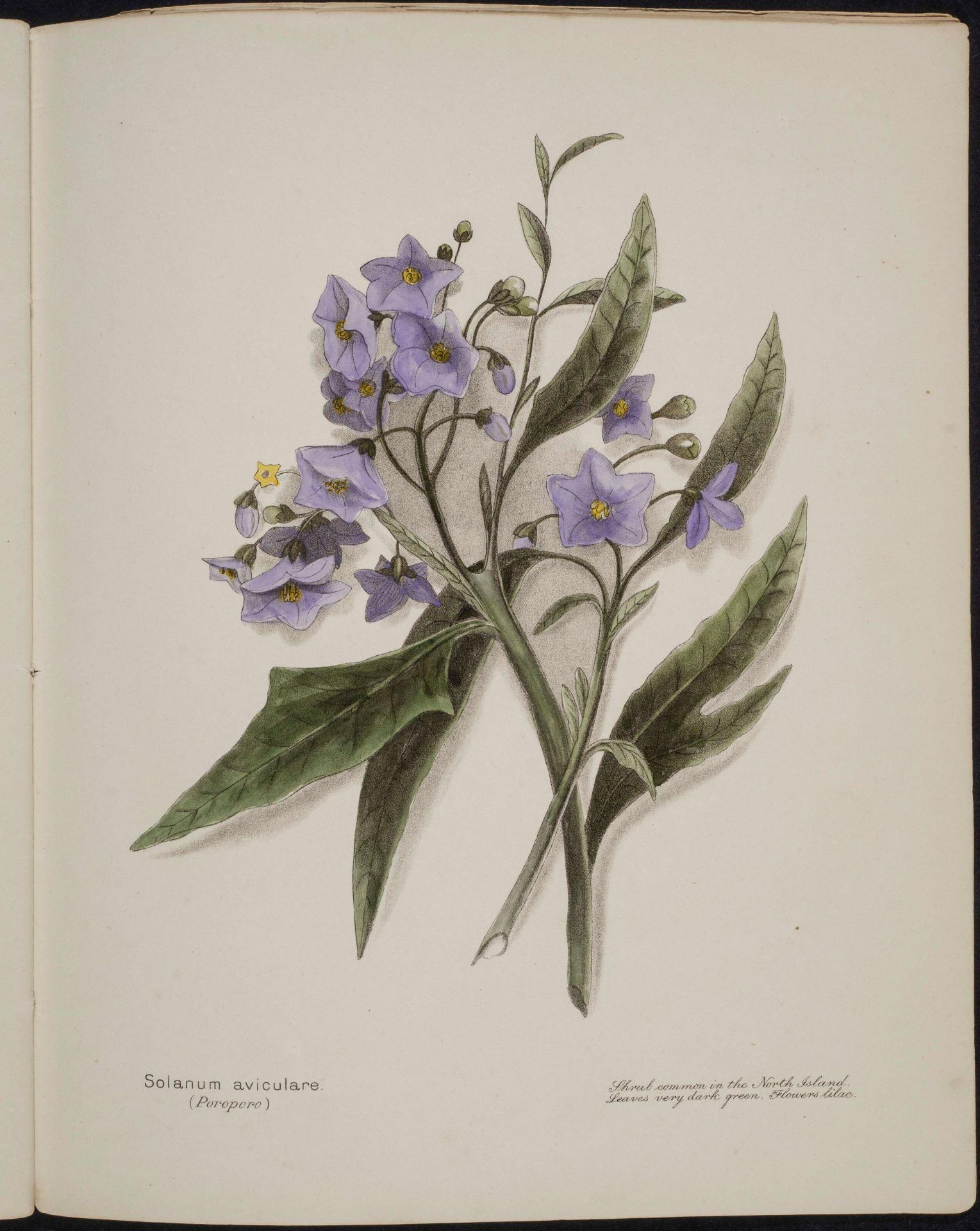 Solanum aviculare Poroporo