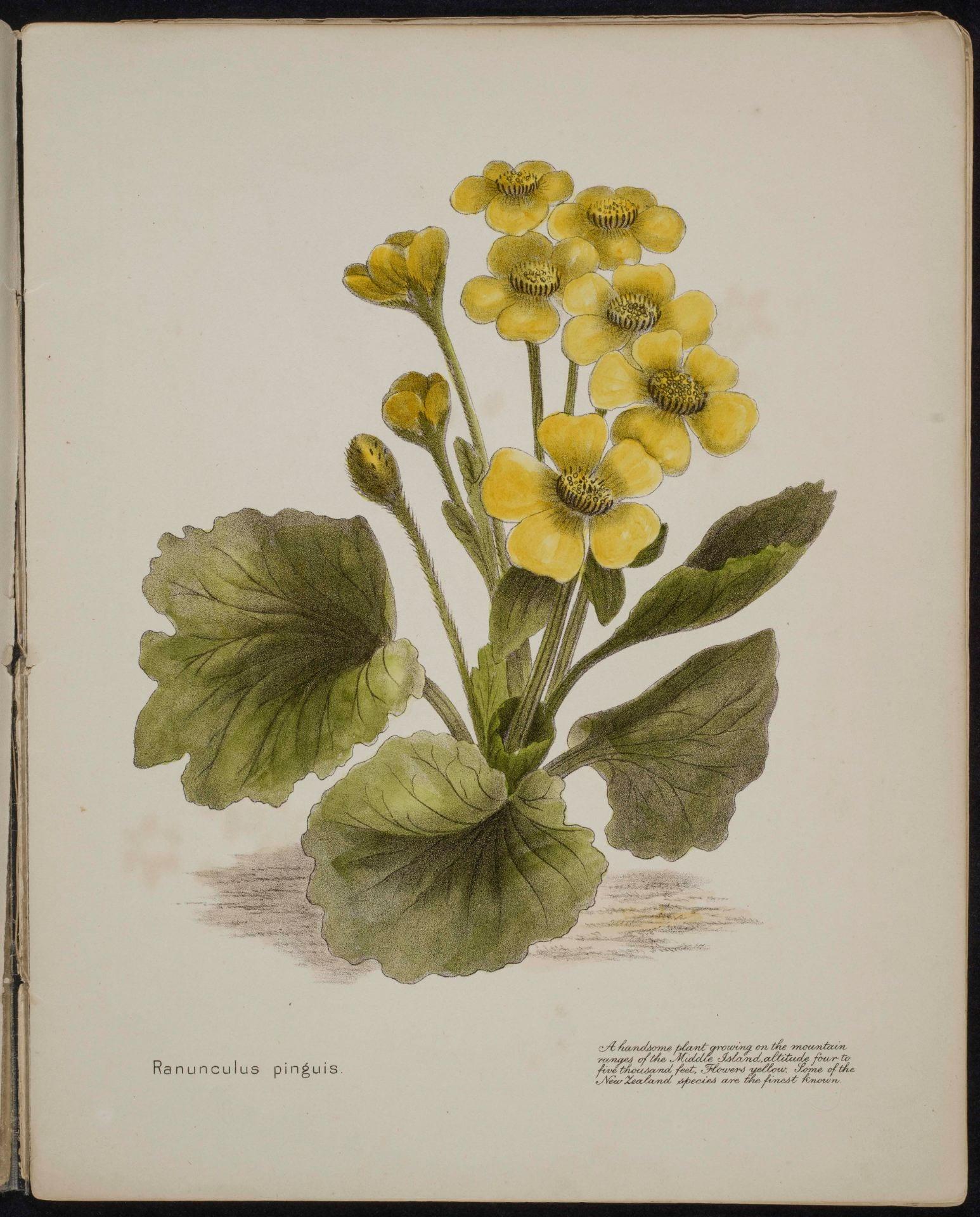 Ranunculus pinguis