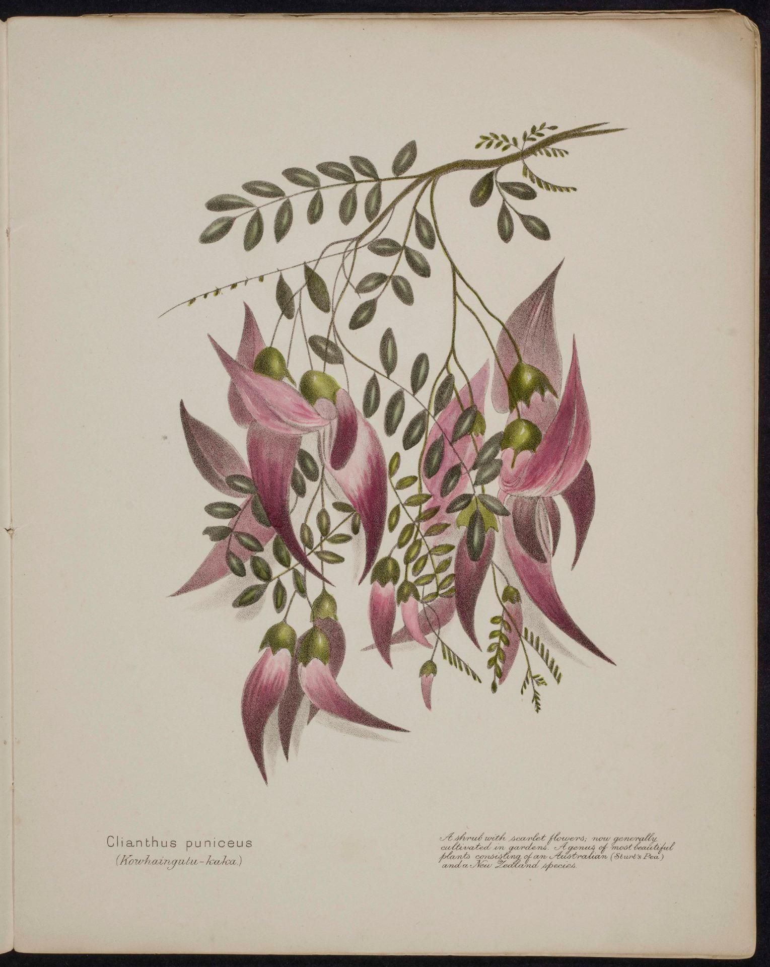 Clianthus puniceus Kowhaingutu-kaka