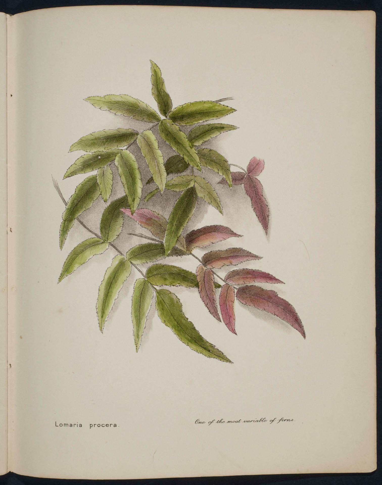 Lomaria procera