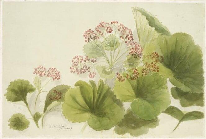 Shows stilbocarpa lyallii, or five finger jack in flower.