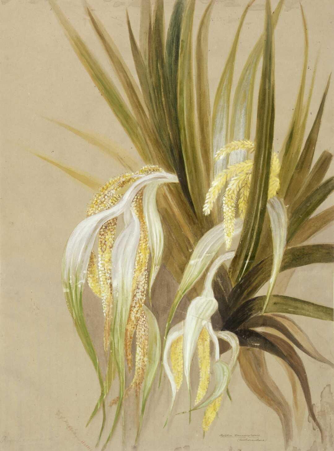 The New Zealand shrub astelia in flower