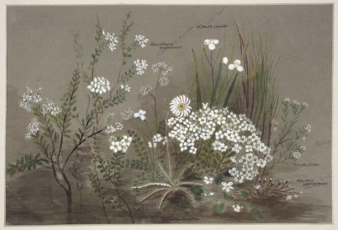 Shows cottongrass (pekepeke), native parsley, turutu (blueberry, libertia), pimelia, portulaca and daisy.