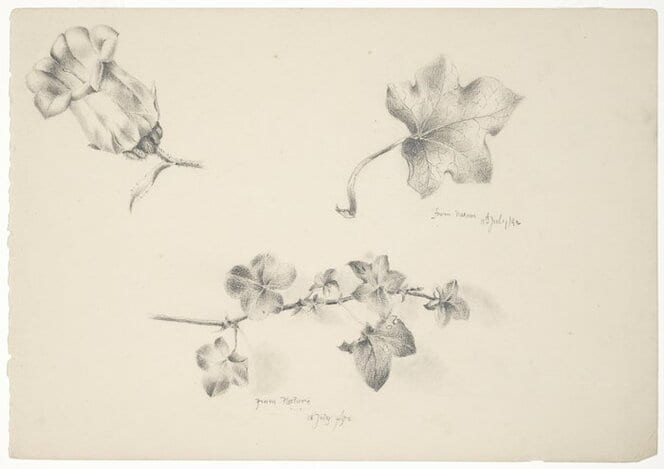Shows leaves of ivy or an ivy-leafed geranium. There is an unidentified flower at top left. Possibly plants in the artist's garden in Nelson