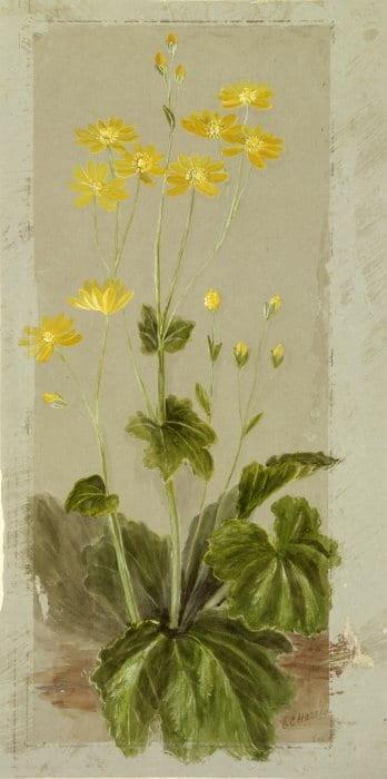 Shows yellow New Zealand ranunculus insignis, mountain buttercup or korikori.
