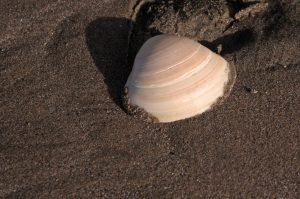 Shell on Piha Beach