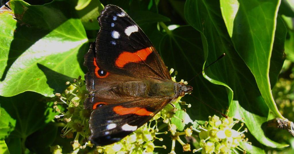 New Zealand red admiral butterfly (Vanessa gonerilla ssp. gonerilla)