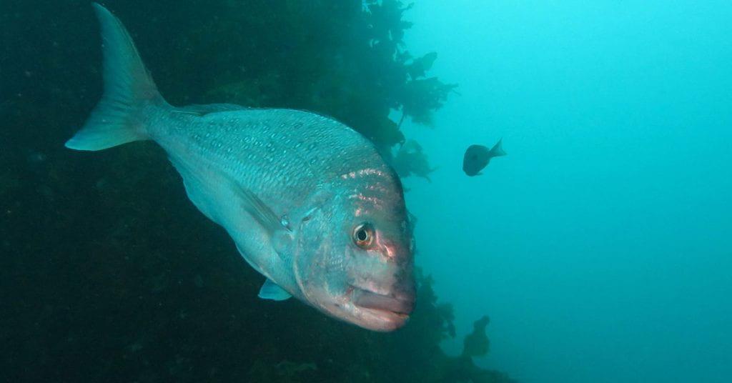 New Zealand blue cod