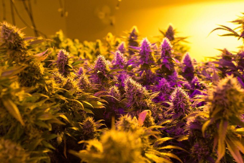 Cannabis growing indoors under yellow light