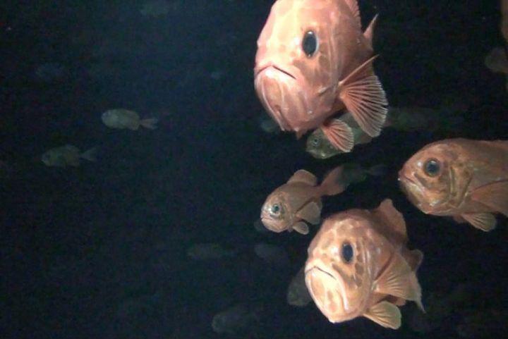 Orange roughy in dark water, looking at the camera