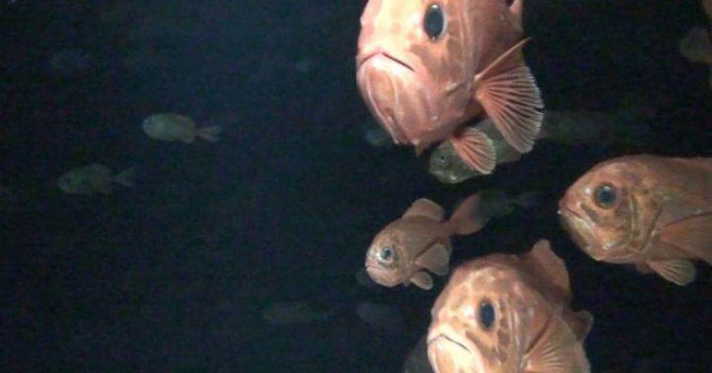 Orange roughy in dark water head on to camera