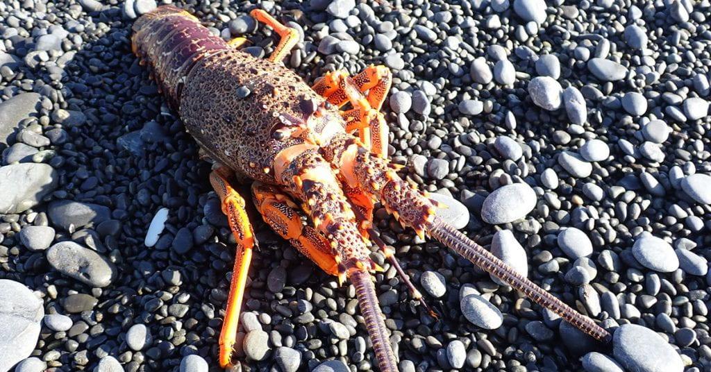 Rock lobster on gravel