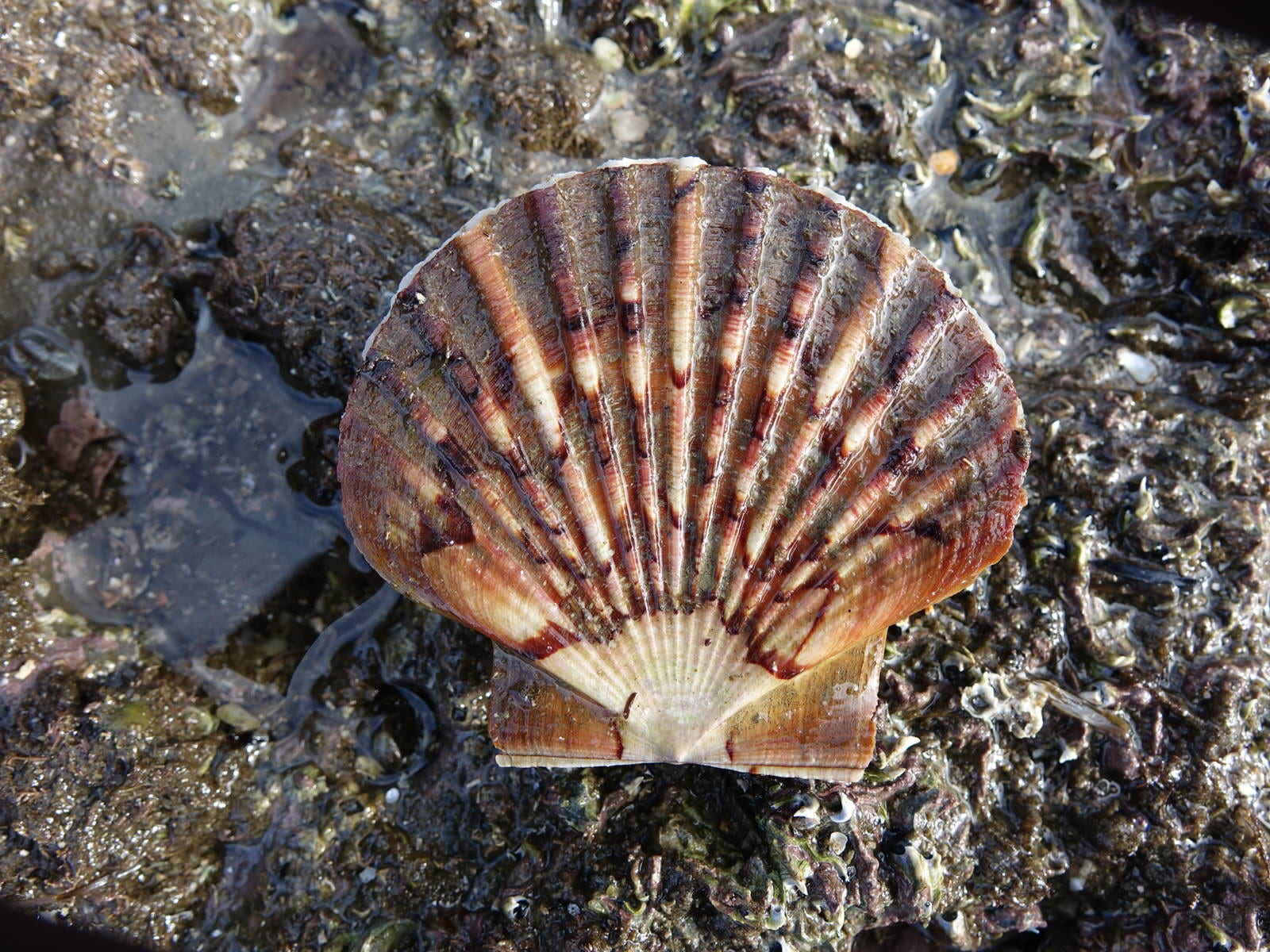 New Zealand scallop shell on a rock