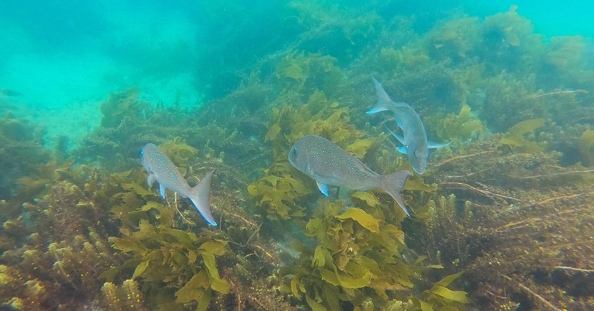 Snapper swimming through kelp at Goat Island Marine Reserve